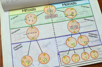 Mitosis vs Meiosis Flipbook