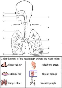 Modified Anatomy; Respiratory &  Breathing Unit, Differentiated Special Ed