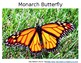 Monarch Butter Fly