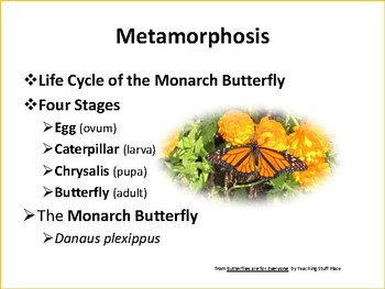 Monarch Butterfly ... Life Cycle ... Photographs ... FREEBIE