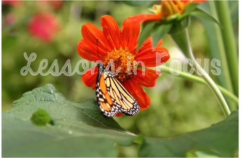 Monarch and Zinnia 1