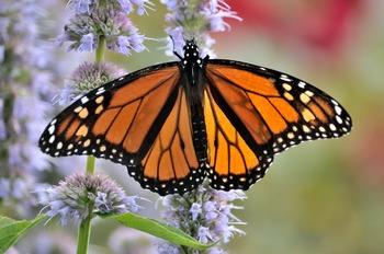 Monarch on Blue Fortune Agastache