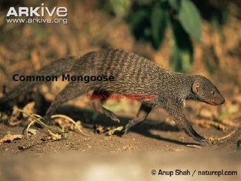Mongoose - Power Point Facts Information Pictures