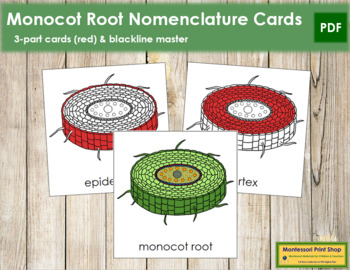Monocot Root Nomenclature Cards (Red)