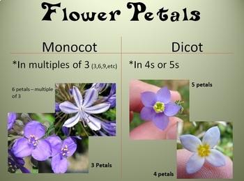 Monocot vs Dicot Power Point (powerpoint)
