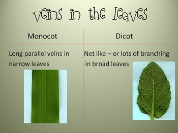 Monocot vs Dicot Power Point (powerpoint) by City Teacher ... 10 Examples Of Monocot Plants