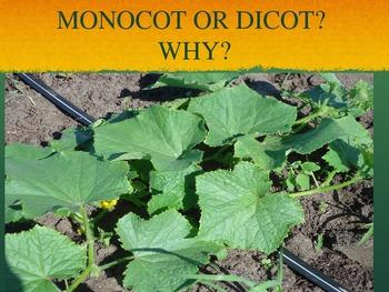 Monocots & Dicots-power point