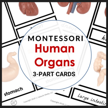 Human Body Study - Montessori Human Organ 3 Part Cards