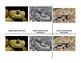 Montessori 3 part Language Cards, Full Set - Venomous Snakes