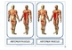 """Montessori 3 part cards for: """"Muscular System"""""""