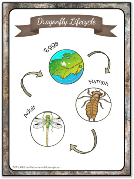 Montessori Dragonfly Life Cycle