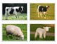 Montessori FARM ANIMAL Matching Cards-Parent to Baby-Science, Zoology