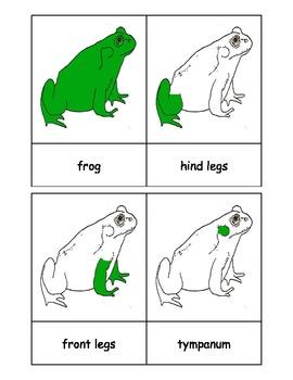 Montessori: Frog Nomenclature