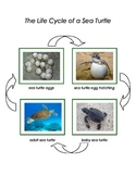 Montessori: Life Cycle of a Sea Turtle