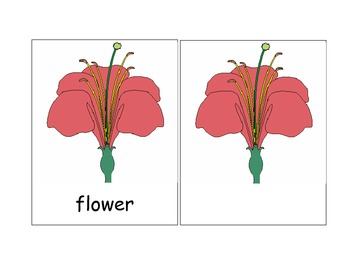 Montessori Nomenclature - Parts of a Flower