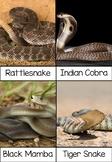 Montessori Top 10 Venomous Snake 3-part Cards