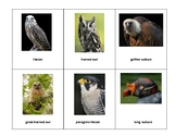 Montessori full 3 part Language Cards - Birds of Prey