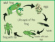 Montessori - the frog