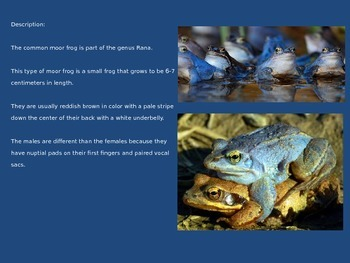 Moor Frog - Power Point - Information Facts Pictures - endangered