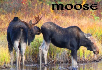 Moose (photos for commercial use)