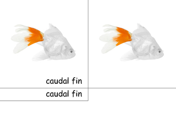Motessori Fish- 3 part cards