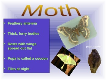 Moth or Butterfly PowerPoint Presentation