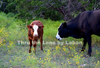 Mother Cow and Calf Stock Photo #216