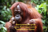 Mother and Baby Orangutan Photo