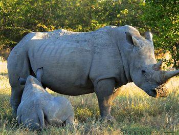 Mother Rhino and Baby Rhino Photograph