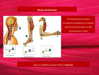 Muscle Anatomy Basics and Facial Muscles