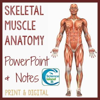 Muscle Anatomy PowerPoint Lesson and Notes - Skeletal Muscles Power Point