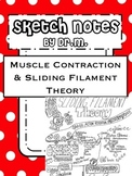 Muscle Contraction & Sliding Filament Sketch Notes W/Tcher Guide &Student Notes!