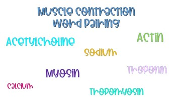 Muscle Contraction Word Pairing Worksheet