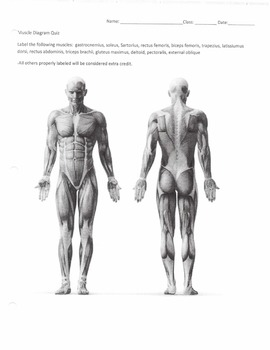 Muscle Diagram Quiz