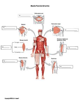 Muscle Fascicle Arrangements Quiz/Worksheet
