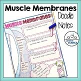 Muscle Membrane Doodle Notes - Epimysium, Perimysium, Endomysium