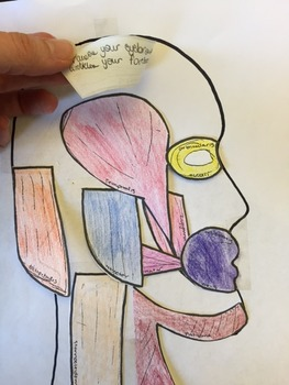 Anatomy Project: Muscles Foldable or Manipulative