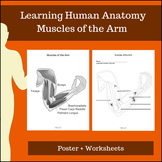 Muscles of the Arm - Learning Human Anatomy