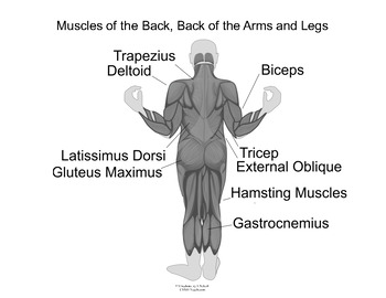 Muscles of the Back, Back of the Arms and Legs - Learning Human Anatomy