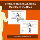 Muscles of the Back, Back of the Arms and Legs - Learning