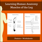 Muscles of the Leg - Learning Human Anatomy