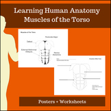 Muscles of the Torso - Learning Human Anatomy