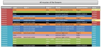 Muscles of the forearm study and discussion tool - Preview