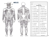 Muscular System Coloring