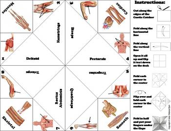 Muscular System Activity/ Foldable (Human Body Systems Review)