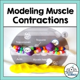 Muscular System Activity - Muscle Contraction Modeling Activity