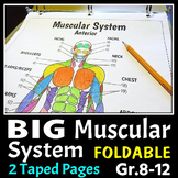Muscular System - Big Foldable for Interactive Notebooks or Binders