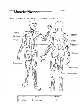 Muscular System Coloring Worksheet