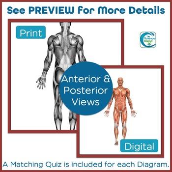 Muscular System Diagrams: Study, Label, Quiz & Color
