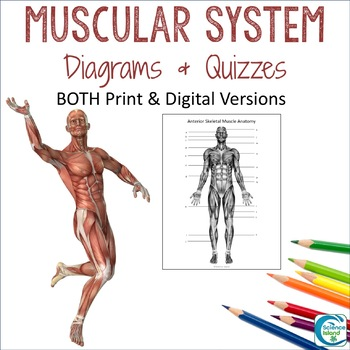 Muscular System Diagrams: Study, Label, Quiz & Color by Science Island